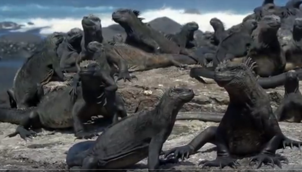 This image has an empty alt attribute; its file name is iguanas.png