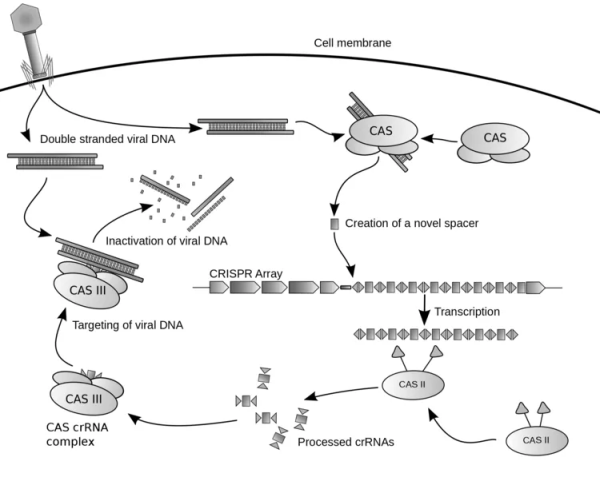 This image has an empty alt attribute; its file name is crispr-diagram.png